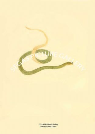COLUBER VERALIS, Dekay - Smooth Green Snake